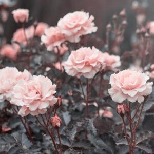 Fragrance Imperial Rose